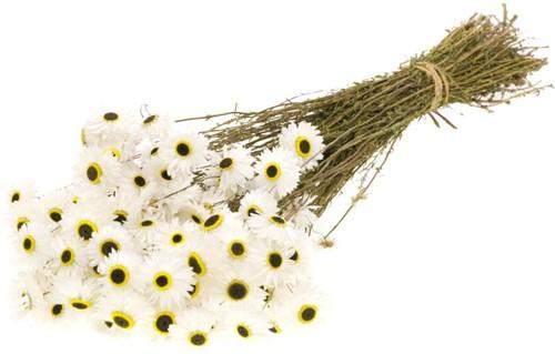 Acroclinium white natural bundel droogbloemen