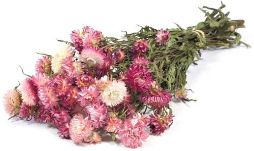Helichrysum PINK natural bundel. droogbloemen