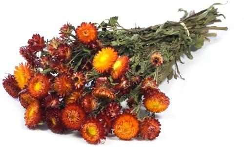 Helichrysum Warmrood natural bundel. droogbloemen