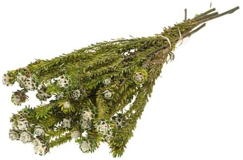 Tortum female preserved SB moss green  Gepreserveerd Safari