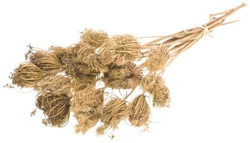 Ammi majus 15pc bundle - Natural droogbloemen
