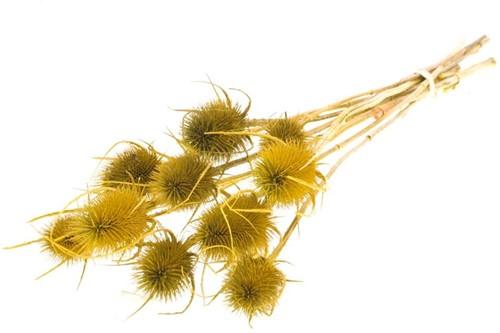 Kaardenbol Chardon 55cm Geel droogbloemen distels