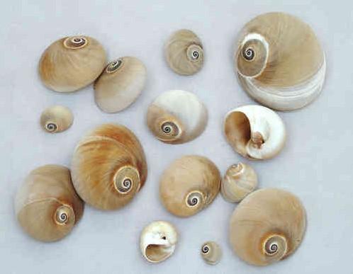 Polinices Didyma schelpen 800 gram