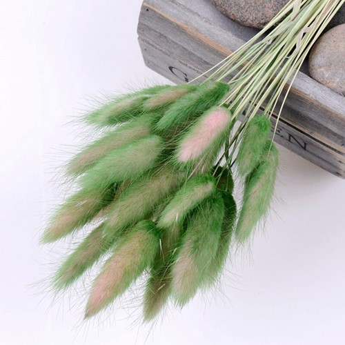 Lagurus Ovatus bundel +/- 30st Green Groen Pluimgras graspluimen