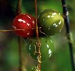 Diplocyclos palmatus Kerstklimmer sier