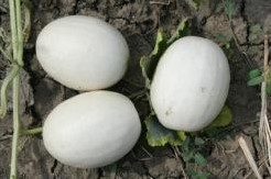 Ball Round White Gourd