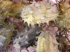 Cucumis Kiwano metuliferus