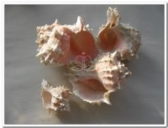 Pink Murex / bicolor 1 kg schelp Pink Murex / bicolor 1 kg