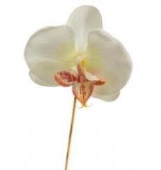Ochidee LOS cremewit Bijsteker orchi