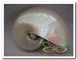 'Nautilus Pearlized 4-5 '' Schelpen' 'Nautilus Pearlized 4-5 '
