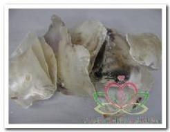 Placuna Placenta naturel 1 kilo