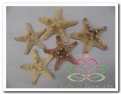 Zeester phil 5-7 cm (5 st)' Starfish