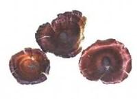 Golden Mushroom 10 st Golden Mushroom-3