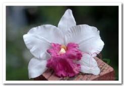 Wit Pink Orchidee zijdebloem kunstbloem Wit Pink Orchid