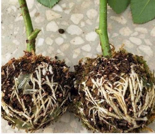 Ent, stek en bewortelbol per 5 stuks vermeerderingsbollen S 5 cm voor houtige gewassen