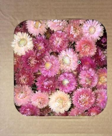 Helichrysum heads strobloemhoofdjes Pink doos L25.0w25.0h10.0
