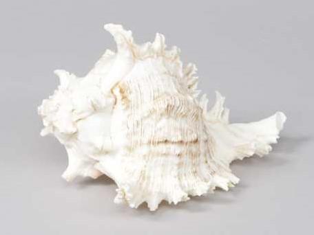Murex Ramosus schelp +/- 15 cm. per stuk
