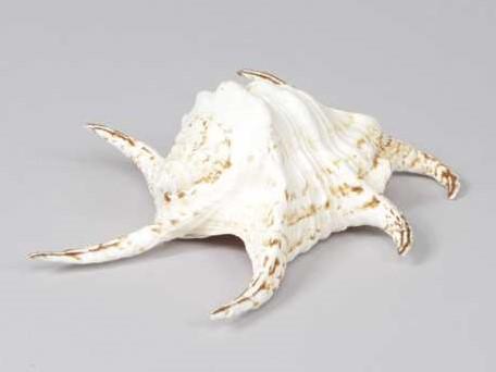 Lambis Chiraga schelp 18-20 cm. per stuk
