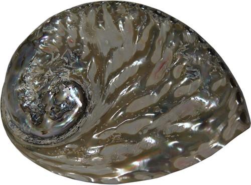 Abelone middel schelp gepolijst, 13-15 cm. per stuk