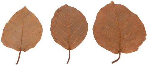 Blad Bat leaves ca. 13-18cm. +/- 15pc Oranje Bat leaves ca. 13-18cm.