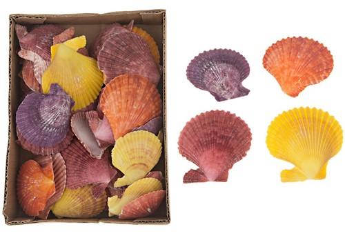 PECTEN CHLAMYS NOBILIS COLOURED 630gr gekleurd, 630 gram