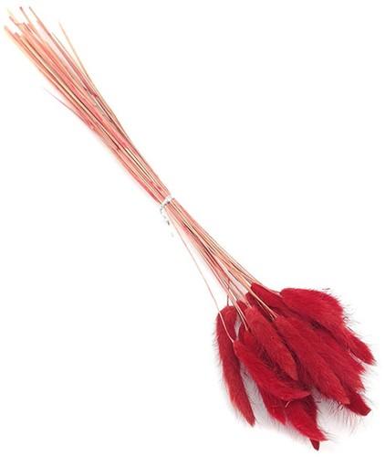 Lagurus Ovatus 100 gr in hoes Rood   Pluimgras graspluimen