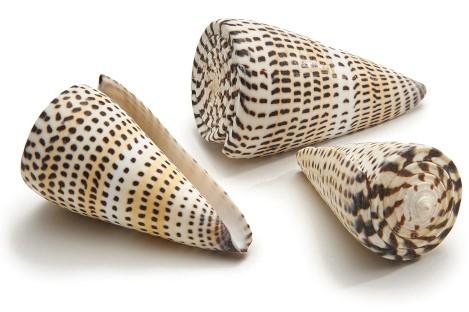Schelpen Conus Litteratus ±8cm 5pcs Shells