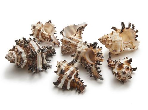 Shell Black Murex Endivia 1 kilo  schelpen
