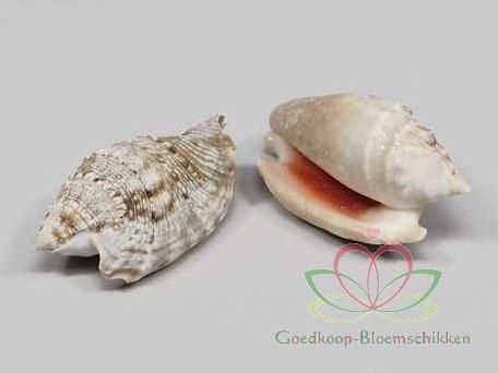 Strombus Aurisdiane schelpen 1 kilo