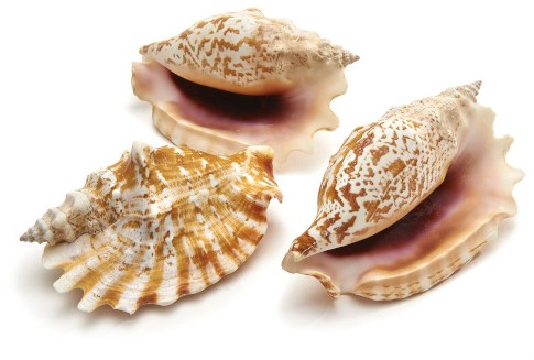 Schelpen Strombus Sinuatus ± 8cm 5pcs Shells