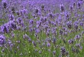 Lavendel - geurolie voor Melts en Kaarsen en Zeep 10ml