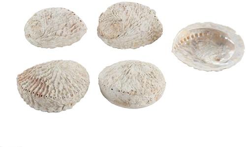Abalone schelpen groot gebleekt, 12+ cm. 5 stuks