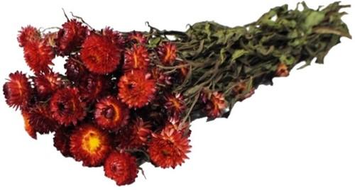 Helichrysum Rood natural bundel. droogbloemen