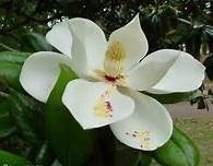 Magnolia - geurolie voor Melts en Kaarsen en Zeep 10ml Geurolie
