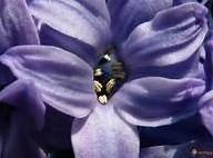 Boeket Hyacinten - geurolie voor Melts en Kaarsen 10ml Geurolie