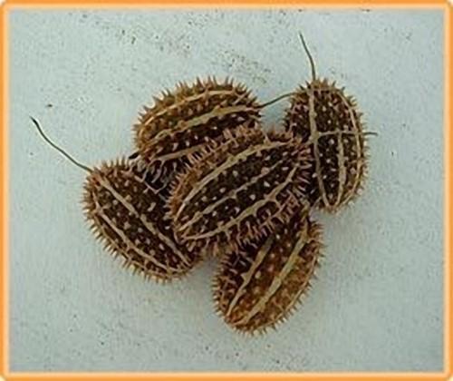 Cucumis Africanus = sier - Basiseenheid Cucumis Africanus = sier