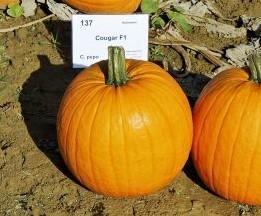 Cougar F1 PMT Halloweenpompoen - 50 zaden Halloweenpompoen