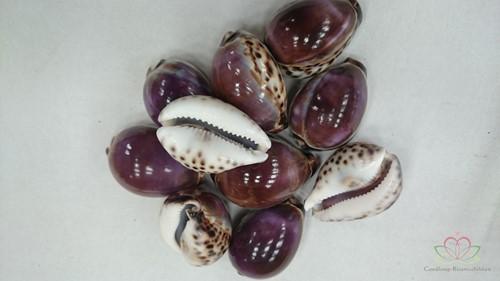 Cypraea Tigris Purple - Tijgerschelp 10 stuks
