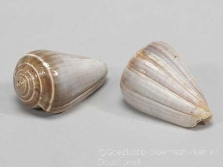 Conus Blue Valai Poo schelpen 5 stuks