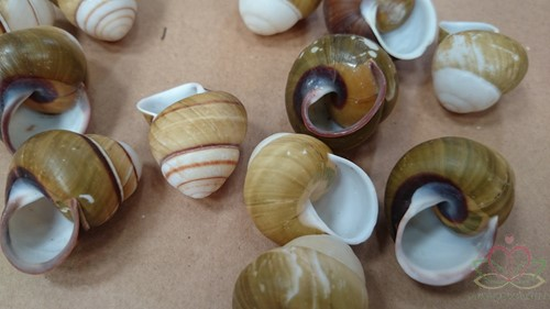 Helicostyla Florida schelpen ±3 cm. 12 stuks