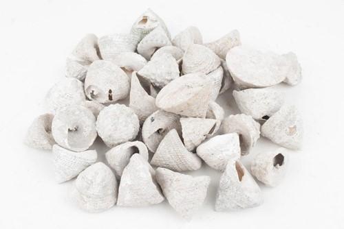 Troca Stellatus schelpen whitewash, 1 kilo