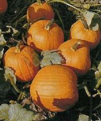 Autumn Gold F1  - basiseenheid Autumn Gold F1