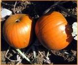 Half Pint F1 Mini Halloweenpompoentje 400-700 gram - 50 zaden Halloweenpompoen Mini