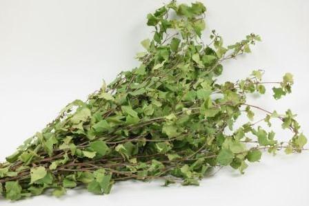 Berkenblad  bundel groen 80cm Berk berkenblad