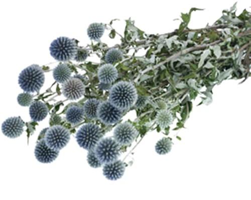 Echinops Naturel Blue bundel in hoes droogbloemen