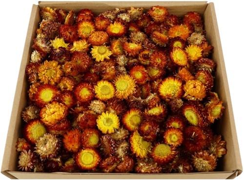 Helichrysum heads strobloemhoofdjes Orange Oranje doos L25.0w25.0h10.0