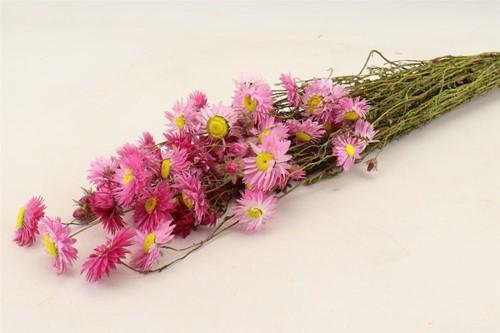 Acroclinium pink Acroclinium Helipterum in hoes 60cm bundel. droogbloemen 100 gr