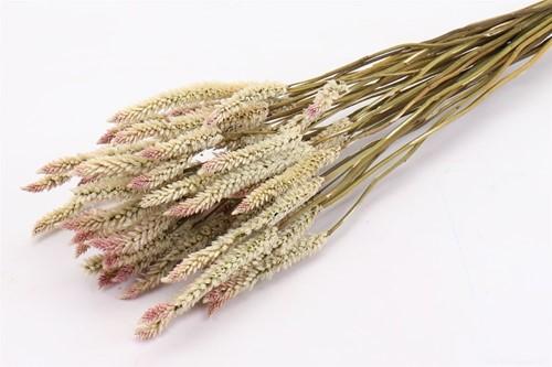 Bundel Celosia naturel mooie aren met gekleurd puntje