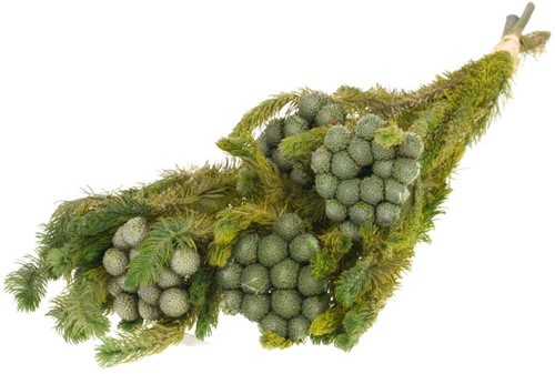 Gepreserveerd BeukenBlad Fagus 75cm.; 150gr Geprepareerd groen