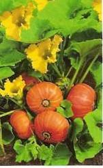 Amazonka buttercup Oranje